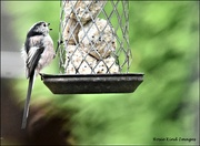 10th Sep 2021 - One of the little long tailed tits