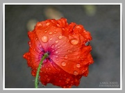 10th Sep 2021 - Rain-Drenched Poppy