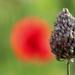 Last of the Bristol Alliums