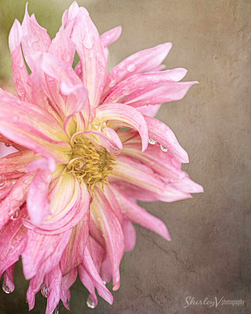 Just a flower by shirleyv