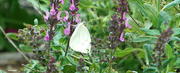 10th Sep 2021 - Loving the lavender