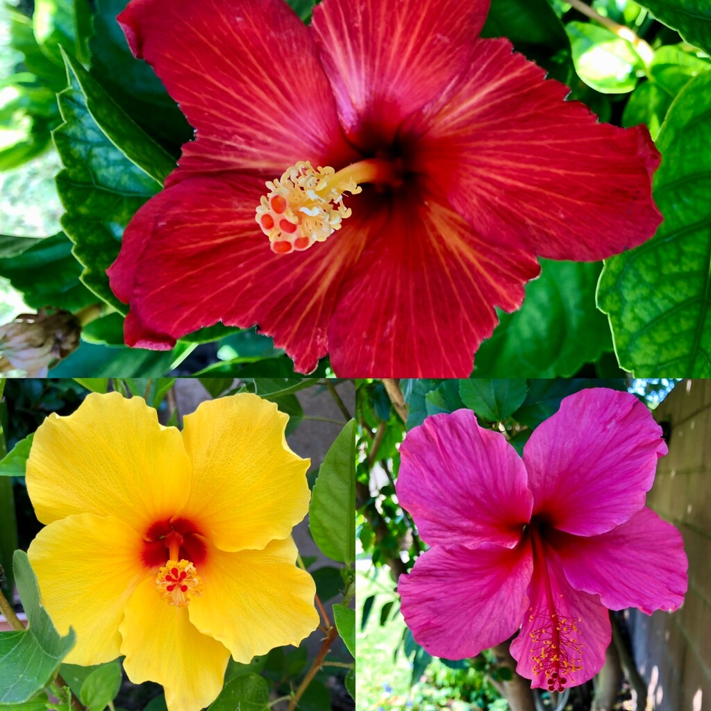 Backyard Hibiscus by loweygrace