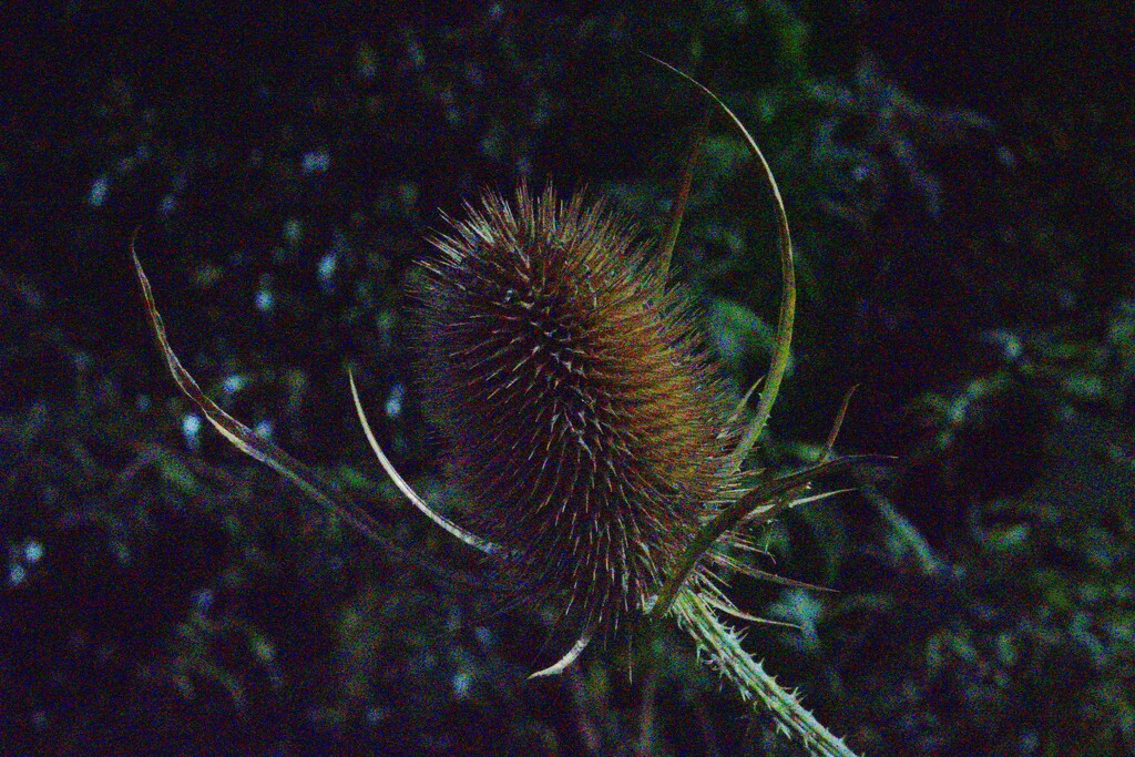 TEASEL IN EXTREMIS  by markp