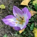 Colchicum with Visitor  by susiemc