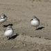 Wrybill plovers by maureenpp