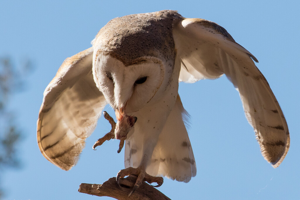 Barn Owl delight by flyrobin