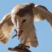 Barn Owl delight