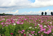 12th Sep 2021 - Field with cosmos flowers (stock pic.)