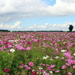 Field with cosmos flowers (stock pic.)