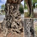 Euclid Avenue Peppertrees