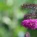Last of the Purple Buddleia