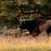 Tauros cattle on the heath