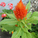 More blooms on the Celosia