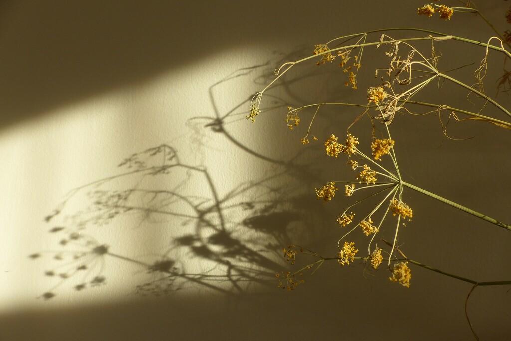 fennel shadow by jokristina