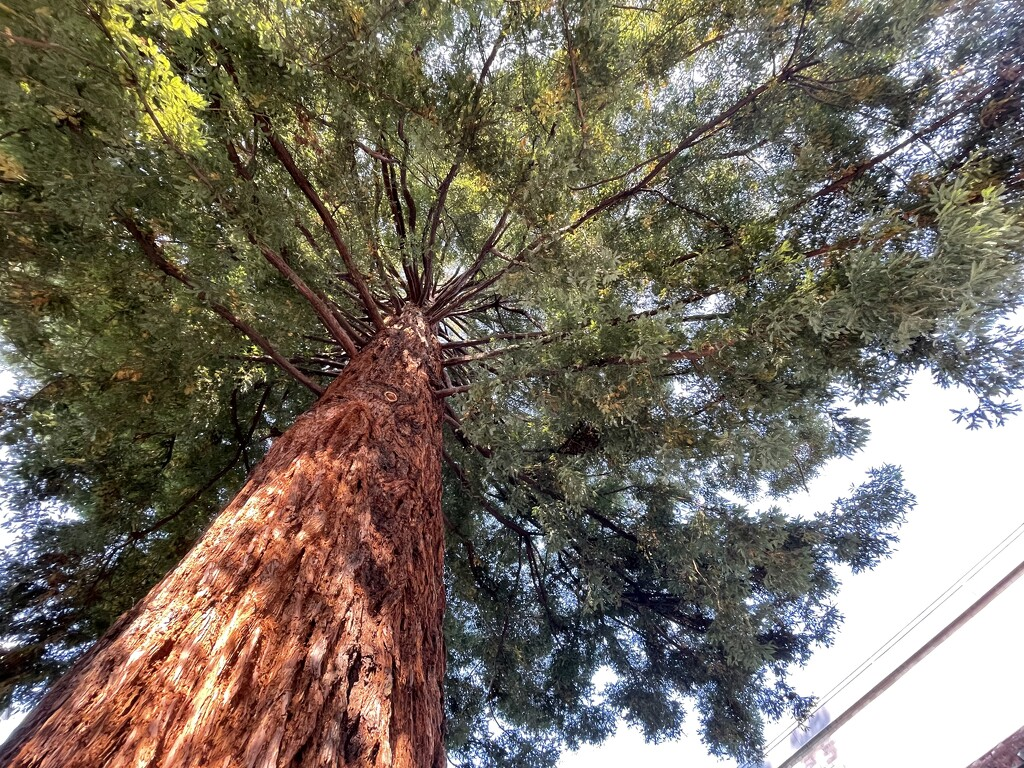 Coast Redwood - Sequoia by mamabec