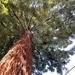 Coast Redwood - Sequoia