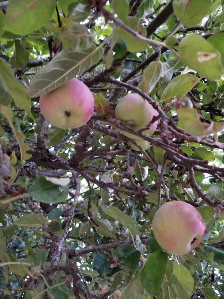 Apple Season by kimmer50
