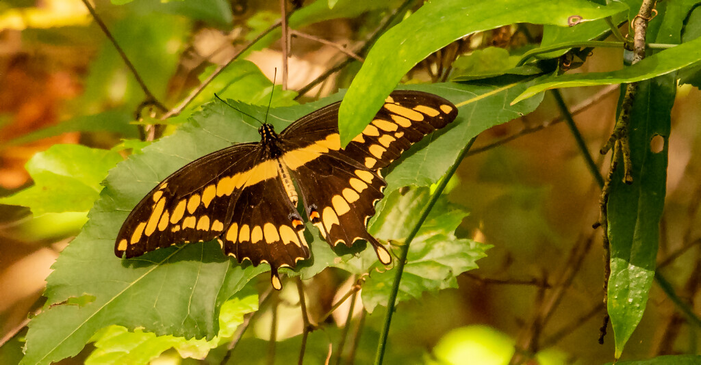 Giant Swallowtail Butterfly! by rickster549