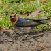 Collecting nesting material - welcome swallow