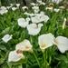 Field of Arum Lilies
