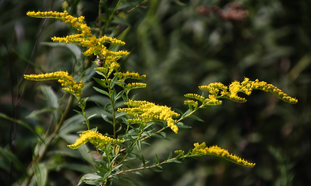 Goldenrod in full bloom by mittens