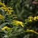 Goldenrod in full bloom