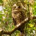 Barred Owl Keeping an Eye on Me!