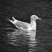 Gull Feast