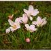 Cherry Blossom's..