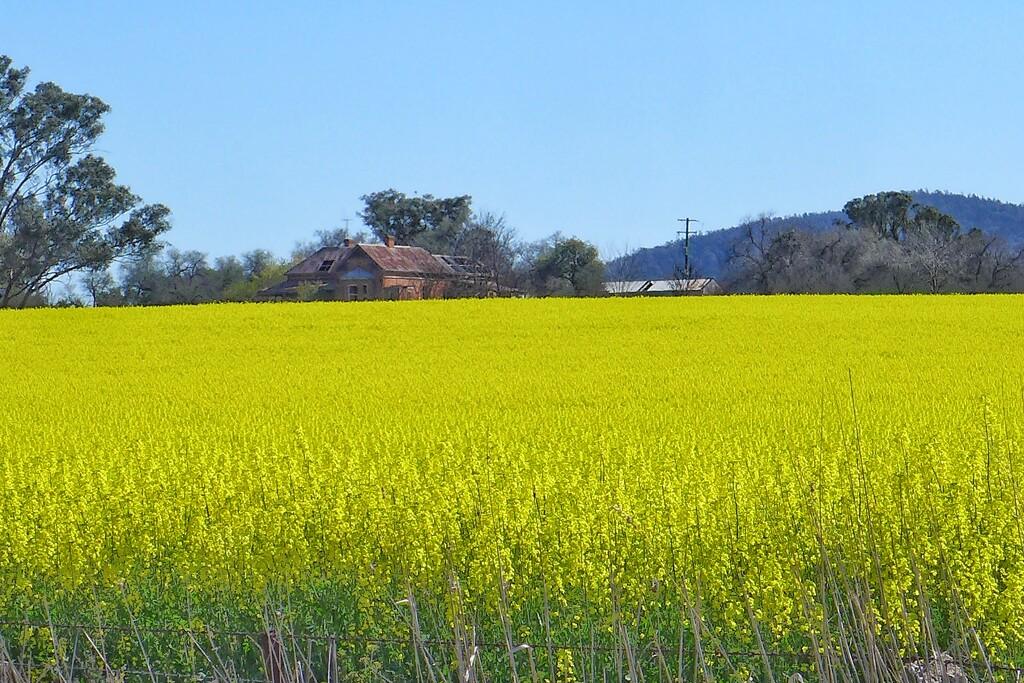 Canola Field by leggzy