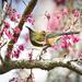 NZ Bellbird  by dkbarnett