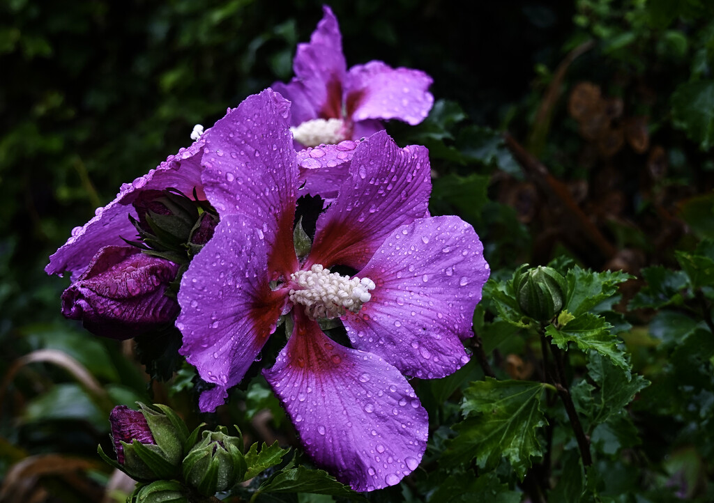 Hibiscus in the rain. by tonygig