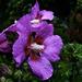 Hibiscus in the rain.