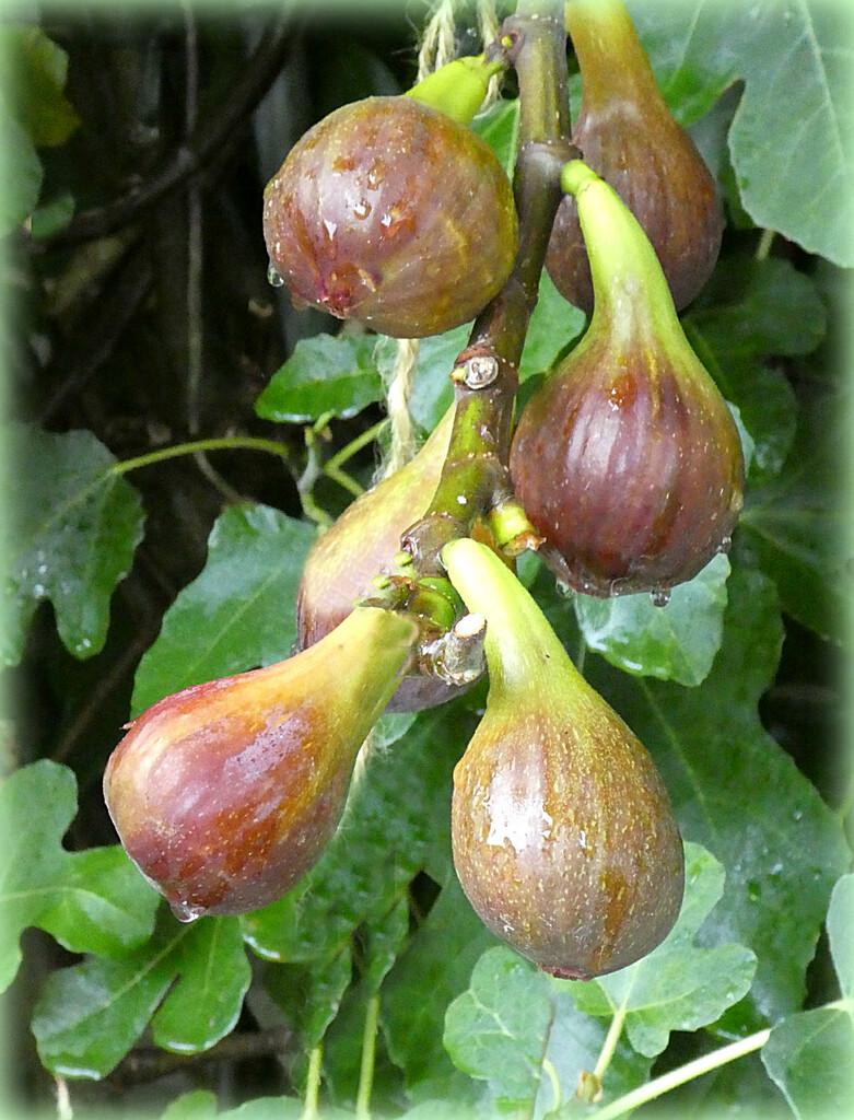 Figs For Breakfast  by wendyfrost