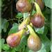 Figs For Breakfast