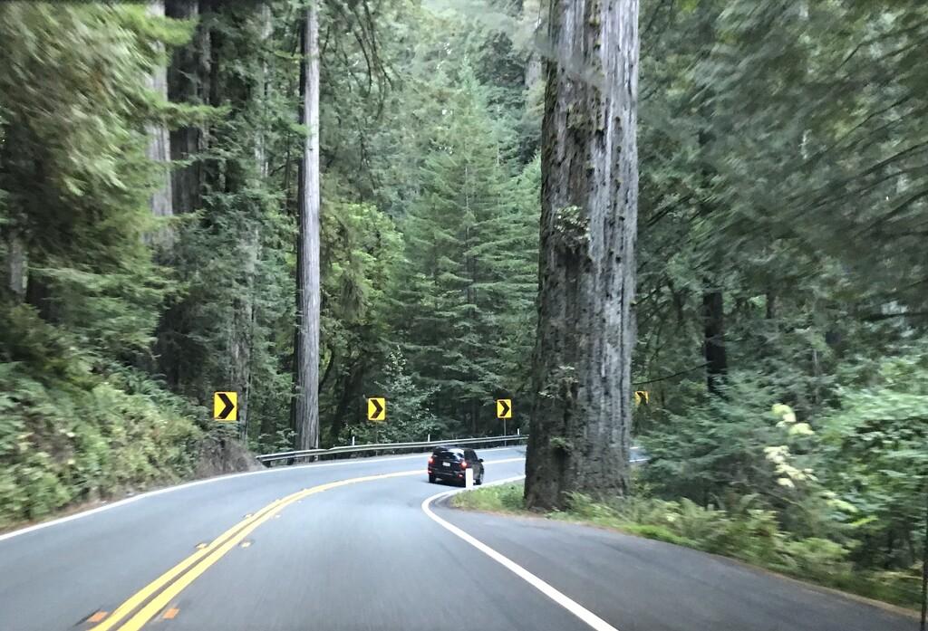 Coast Redwoods  by pandorasecho