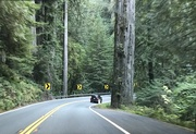 12th Sep 2021 - Coast Redwoods