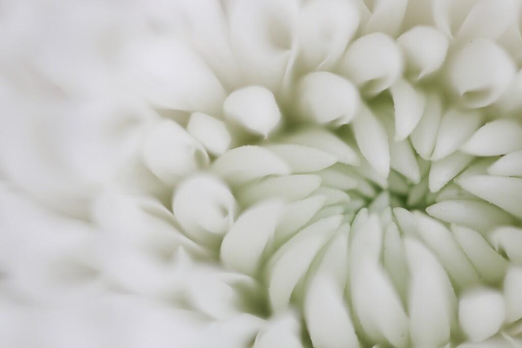 Chrysanthemum  by motherjane
