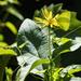 Sulphur on Cup Flower