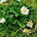 The daisy survivors 🌼