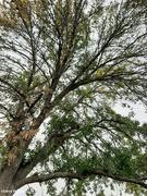 14th Sep 2021 - Ash tree