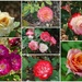 A Profusion of Roses