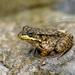 Just a frog by fayefaye