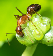 13th Sep 2021 - Ant on Vine shoots