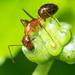 Ant on Vine shoots