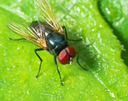 12th Sep 2021 - Black Fly