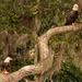 Bald Eagles, Having a Snack!