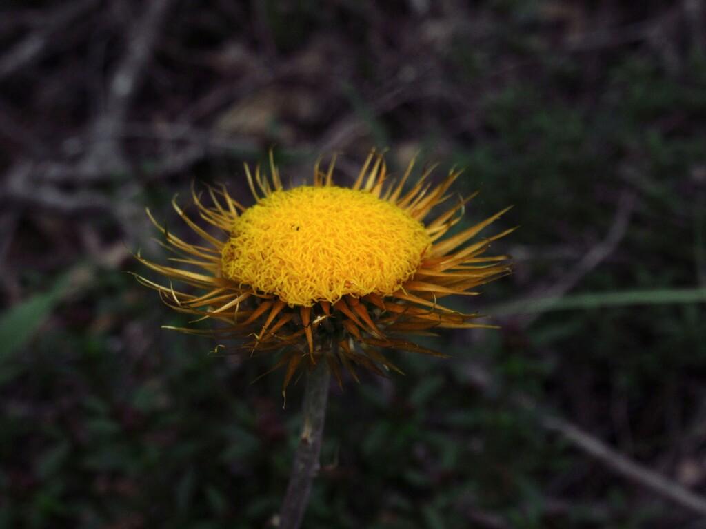 Asteraceae Xerochrysum bracteatum - Golden Everlasting Daisy by robz