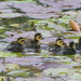 Camouflage ducklings