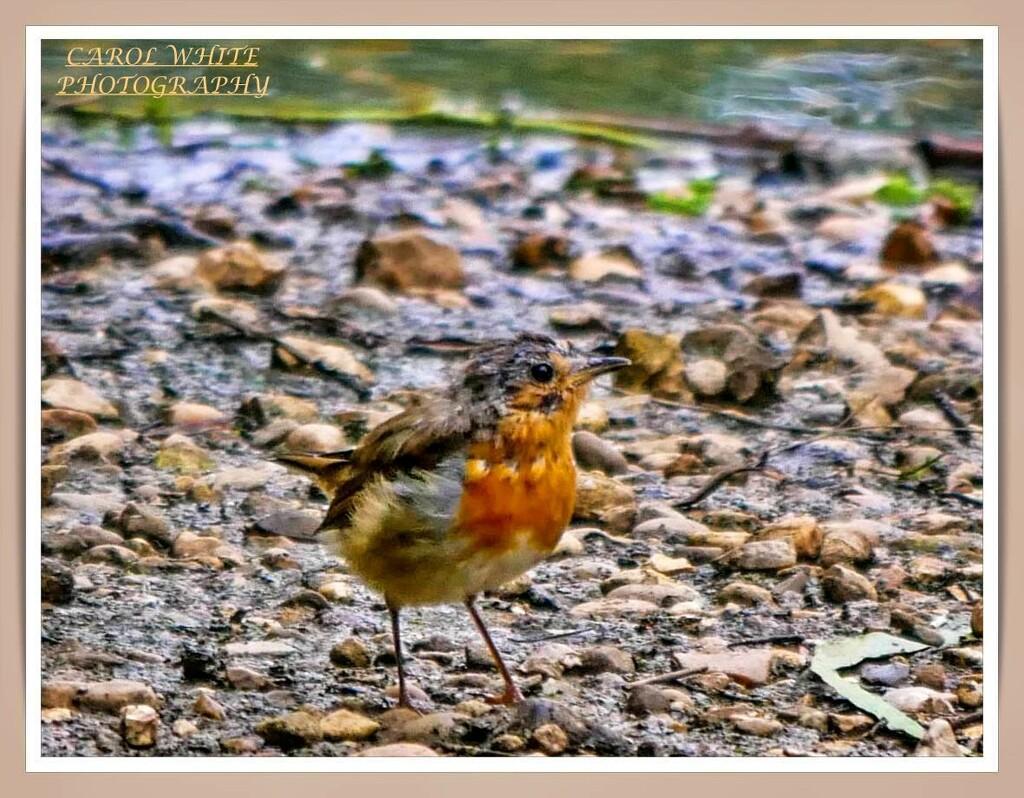 Robin At The Water's Edge by carolmw